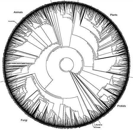 This phylogenetic tree, created by David Hillis, Derreck Zwickil and Robin Gutell, depicts the evolutionary relationships of about 3,000 species throughout the Tree of Life. Less than 1 percent of known species are depicted.