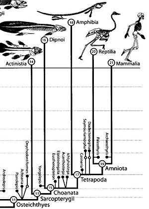 A detail from a phylogeny of the chordate group of organisms, which includes all vertebrate animals. View complete phylogeny (across geological time) of the chordate group (opens in a new window).